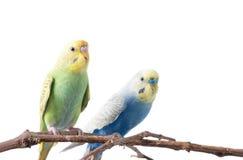 Желтая и зеленая птица волнистого попугайчика Стоковые Фото