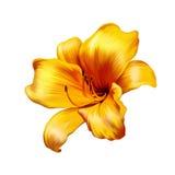 Желтая лилия белизна изолированная предпосылкой Стоковая Фотография RF