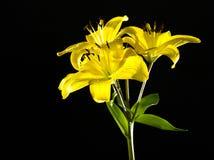 Желтая лилия изолированная на черной предпосылке Стоковые Изображения