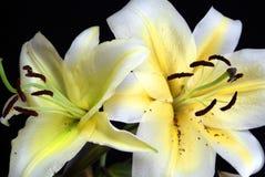 Желтая лилия и белизна стоковые изображения
