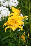 Желтая лилия (лилии) Стоковые Фотографии RF