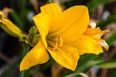 Желтая лилия на зоре в саде лилии Стоковые Изображения RF