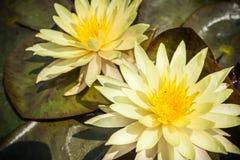 2 желтая лилия лотоса или воды зацветая с листьями в пруде Стоковые Фото