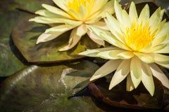 2 желтая лилия лотоса или воды зацветая с листьями в пруде Стоковые Фотографии RF