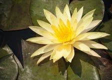 2 желтая лилия лотоса или воды зацветая с листьями в пруде Стоковые Изображения RF