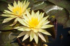 2 желтая лилия лотоса или воды зацветая с листьями в пруде Стоковое Изображение RF