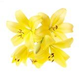 Желтая лилия Стоковое Фото
