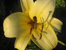 Желтая лилия стоковые фотографии rf