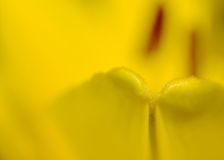 Желтая лилия Стоковая Фотография RF