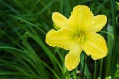 Желтая лилия Стоковое Изображение