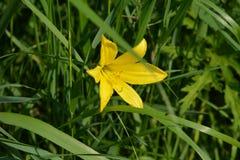 Желтая лилия Стоковое Изображение RF
