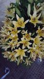 Желтая лилия Стоковые Изображения