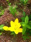 Желтая лилия Стоковые Фото