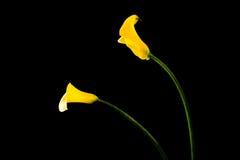 Желтая лилия calla Стоковые Фото