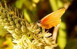 Желтая и оранжевая бабочка на цветке Стоковые Фотографии RF