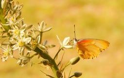 Желтая и оранжевая бабочка на цветке Стоковые Фото