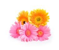 Желтая и розовая маргаритка Gerbera, Трансвааля или маргаритка Barberton flo Стоковое фото RF