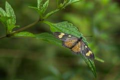 Желтая и черная бабочка и зеленая предпосылка defocused Стоковая Фотография