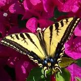 Желтая и черная бабочка Стоковое Фото