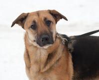 Желтая и черная собака шавки стоя на снеге стоковая фотография