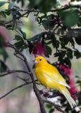 Желтая канерейка, (domestica canaria Serinus Стоковые Изображения