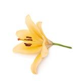 Желтая королевская изолированная лилия лилии троицы Стоковое Изображение RF