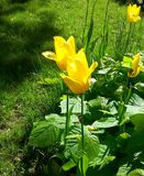 Желтая крона в солнечном дне стоковая фотография