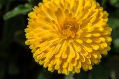 Желтая мандала Стоковые Фото