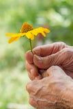 Желтая маргаритка в более старых женщинах Стоковая Фотография