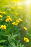Желтая маргаритка в солнце стоковое изображение