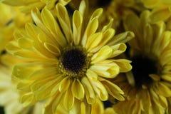 Желтая маргаритка зацветает крупный план макроса стоковое фото rf