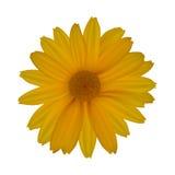 Желтая маргаритка изолированная на белой предпосылке Стоковые Изображения RF
