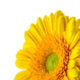 Желтая маргаритка на белой предпосылке Стоковые Изображения RF
