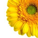 Желтая маргаритка на белой предпосылке Стоковое фото RF