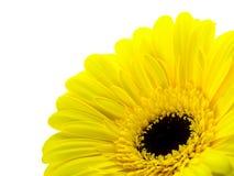Желтая маргаритка на белой предпосылке Стоковое Изображение