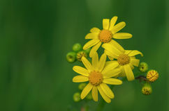Желтая маргаритка стоковое фото rf