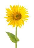 Желтая маргаритка стоковая фотография rf