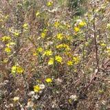 Желтая маргаритка Стоковые Фото