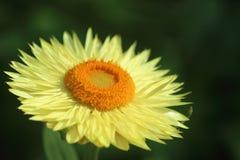 Желтая маргаритка 1 стоковое изображение rf