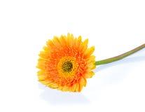 Желтая маргаритка Gerbera, Трансвааля или маргаритка Barberton цветок Стоковые Фото