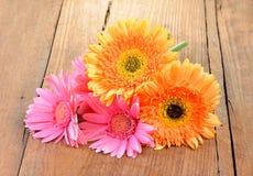 Желтая маргаритка Gerbera, Трансвааля или маргаритка Barberton цветок Стоковые Фотографии RF