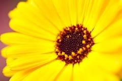 Желтая маргаритка Gerbera Стоковая Фотография RF