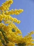 Желтая мимоза в цветени Стоковые Изображения