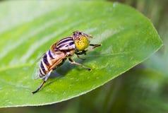 Желтая муха на зеленых лист Стоковые Изображения RF