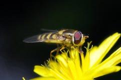 Желтая муха Стоковое Изображение RF