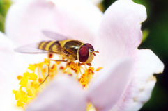 Желтая муха Стоковые Фото