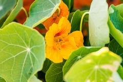 Желтая настурция зацветает peeking вне изнутри листьев Стоковое Изображение