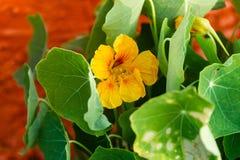 Желтая настурция зацветает peeking вне изнутри листьев Стоковая Фотография