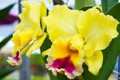Желтая орхидея в саде Стоковое Изображение