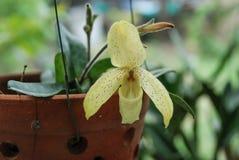 Желтая орхидея, Таиланд стоковые изображения rf